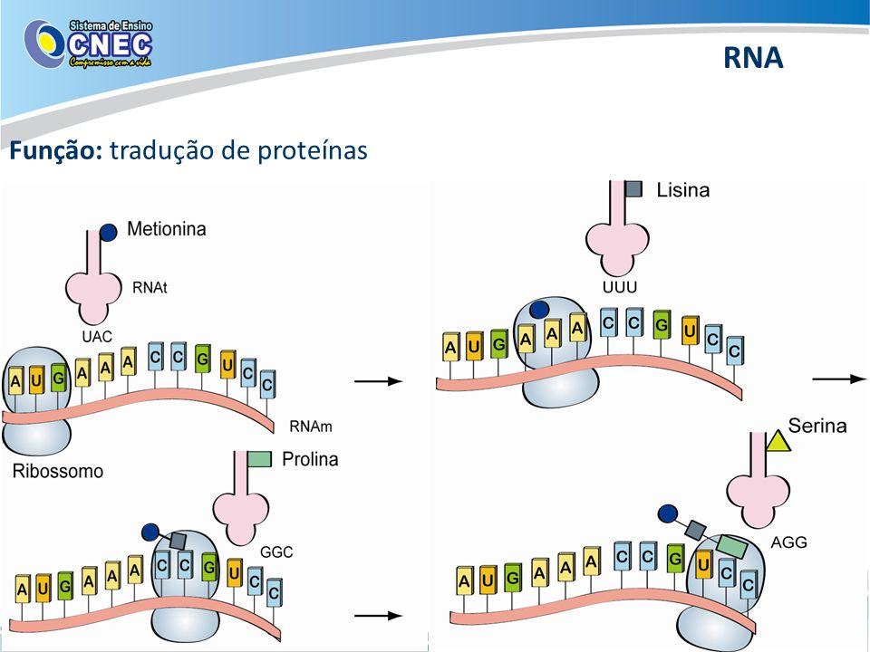 RNA Função: tradução de proteínas