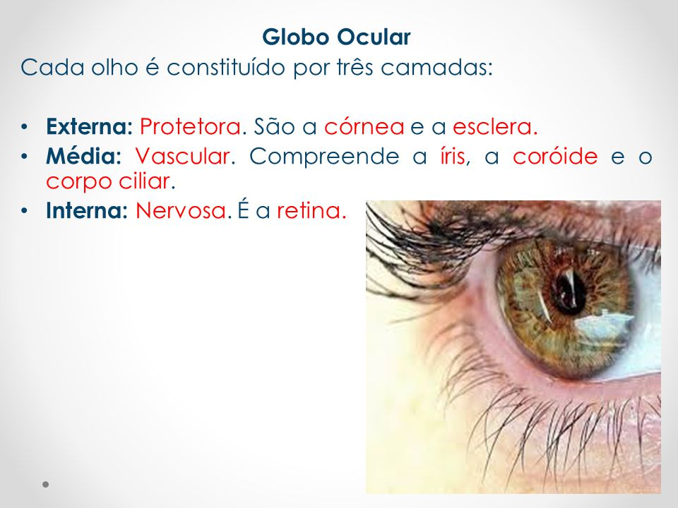 Globo Ocular Cada olho é constituído por três camadas: Externa: Protetora. São a córnea e a esclera.