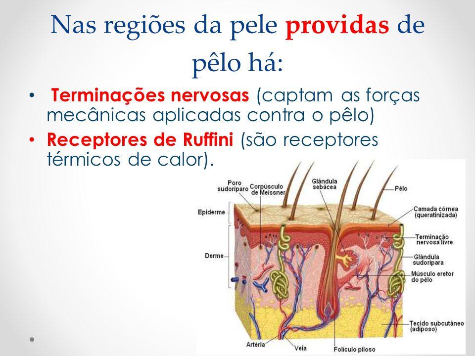 Nas regiões da pele providas de pêlo há:
