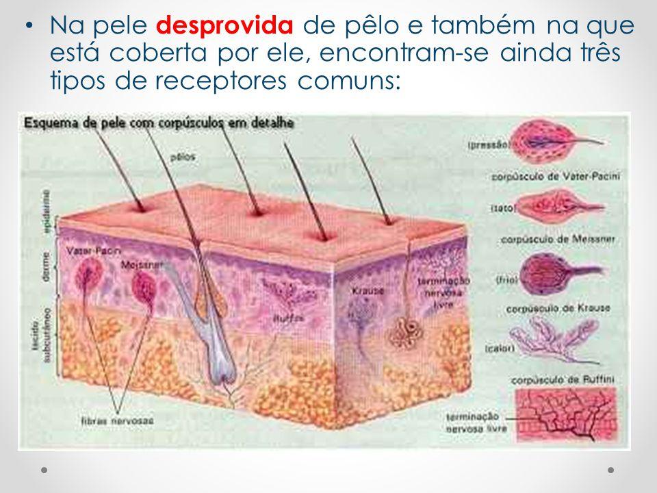 Na pele desprovida de pêlo e também na que está coberta por ele, encontram-se ainda três tipos de receptores comuns:
