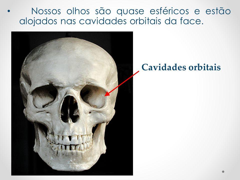 Nossos olhos são quase esféricos e estão alojados nas cavidades orbitais da face.