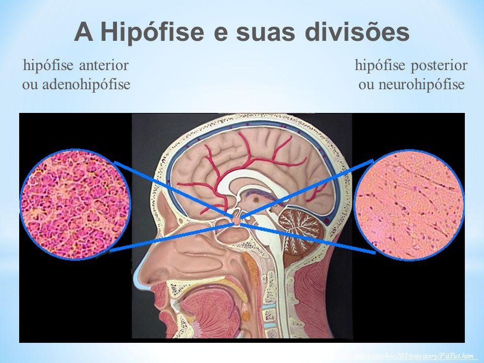 A Hipófise e suas divisões