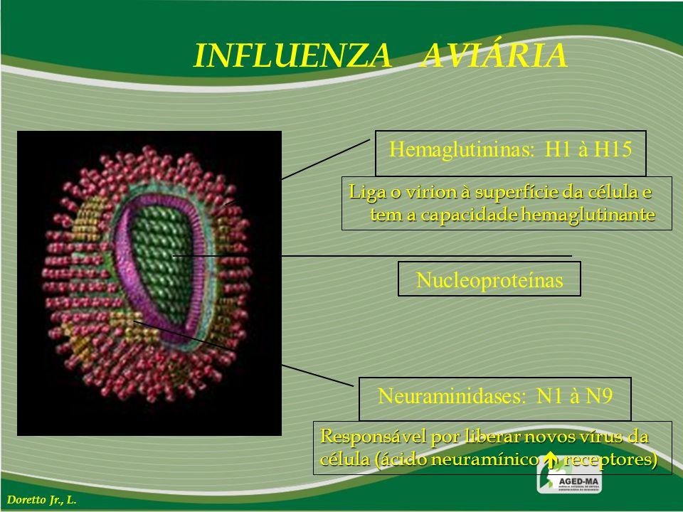 INFLUENZA AVIÁRIA Hemaglutininas: H1 à H15 Nucleoproteínas