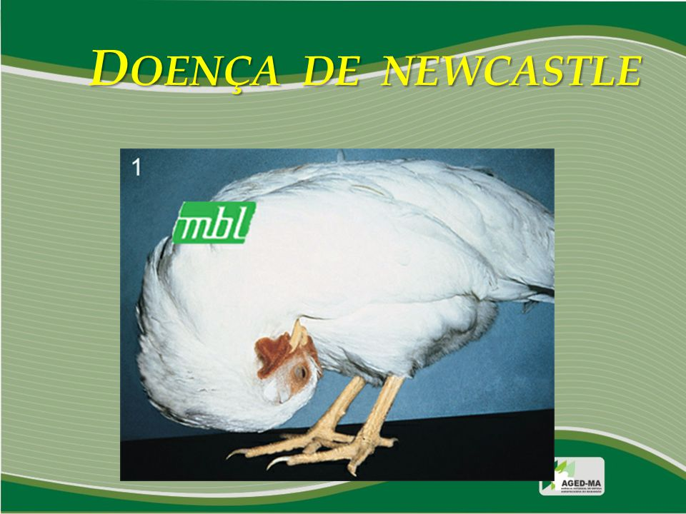 DOENÇA DE NEWCASTLE