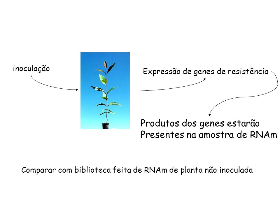 Comparar com biblioteca feita de RNAm de planta não inoculada