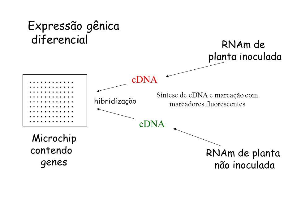 Expressão gênica diferencial ………… RNAm de planta inoculada cDNA cDNA