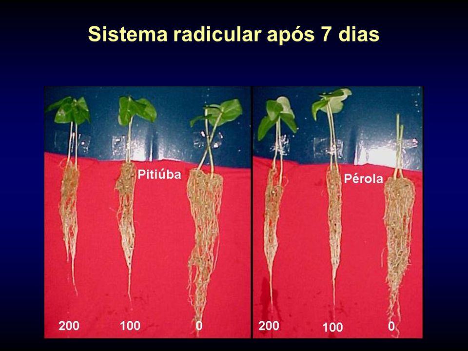 Sistema radicular após 7 dias