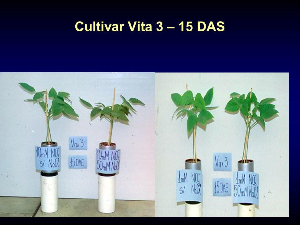 Cultivar Vita 3 – 15 DAS