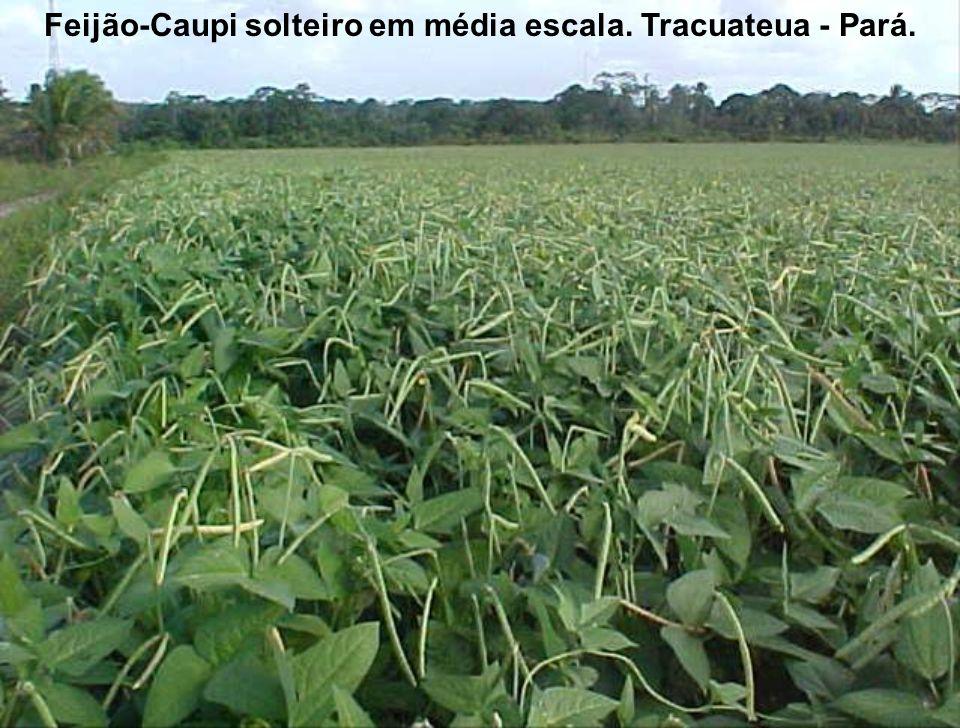 Feijão-Caupi solteiro em média escala. Tracuateua - Pará.