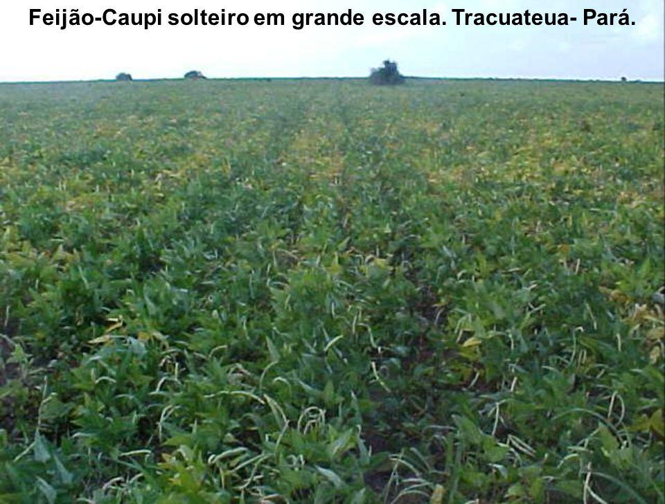 Feijão-Caupi solteiro em grande escala. Tracuateua- Pará.