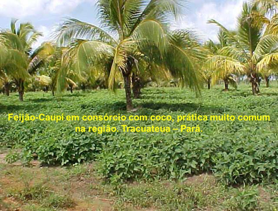 Feijão-Caupi em consórcio com coco, prática muito comum na região