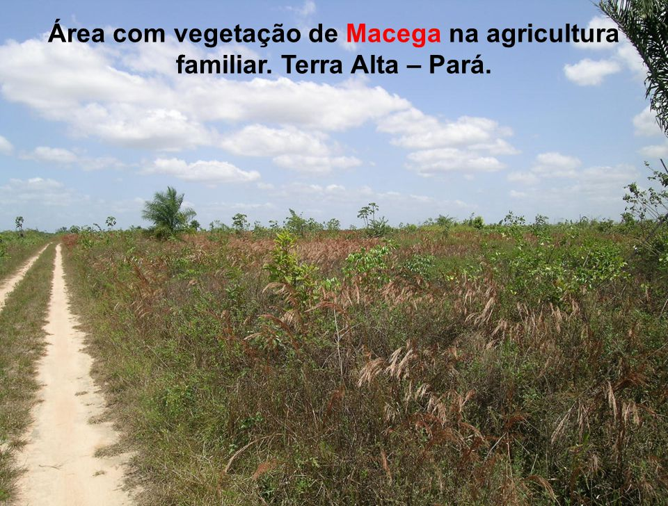 Área com vegetação de Macega na agricultura familiar. Terra Alta – Pará.