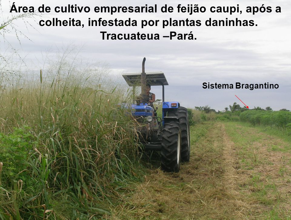 Área de cultivo empresarial de feijão caupi, após a colheita, infestada por plantas daninhas. Tracuateua –Pará.