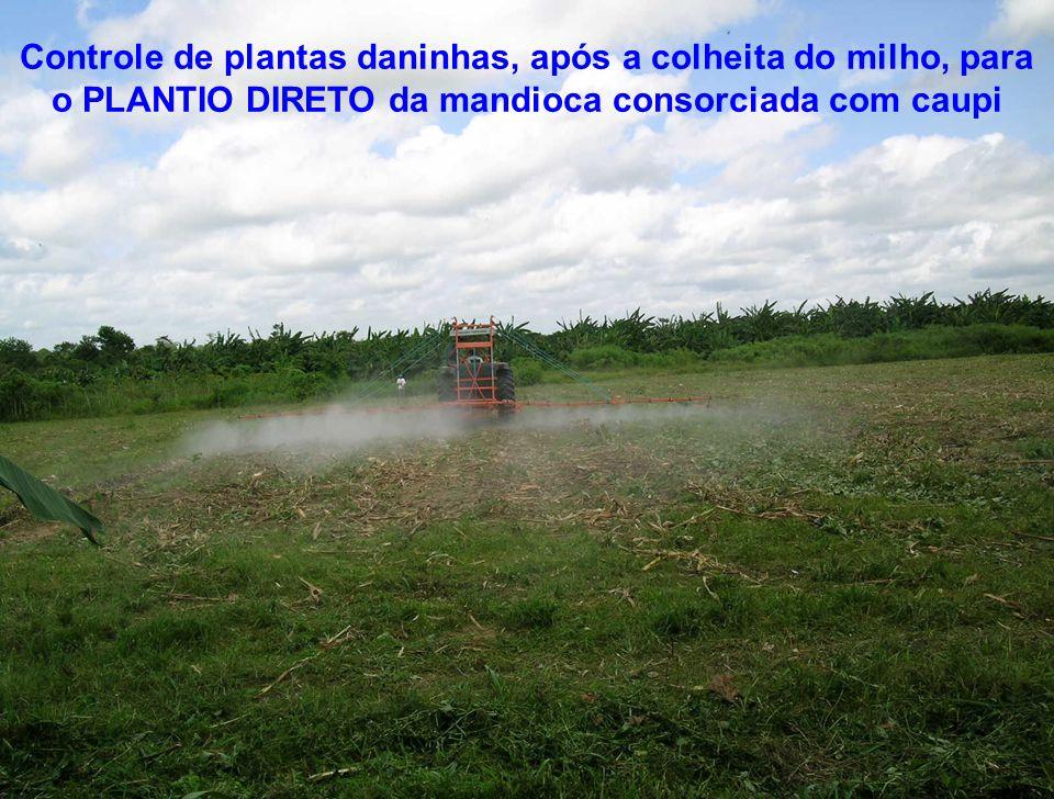 Controle de plantas daninhas, após a colheita do milho, para o PLANTIO DIRETO da mandioca consorciada com caupi