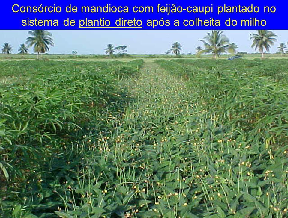 Consórcio de mandioca com feijão-caupi plantado no sistema de plantio direto após a colheita do milho