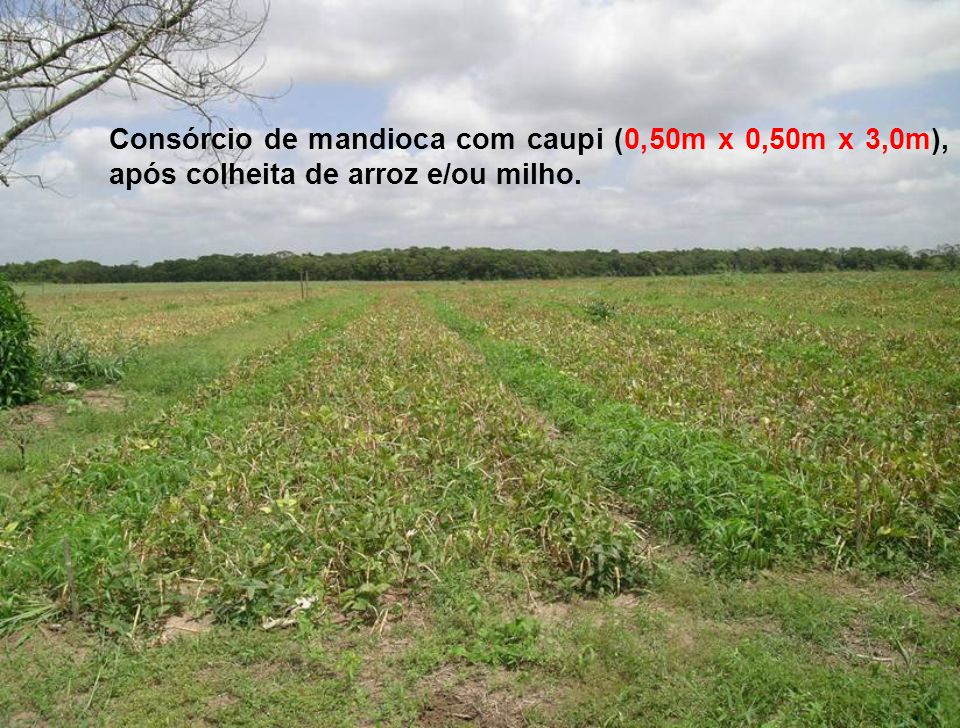 Consórcio de mandioca com caupi (0,50m x 0,50m x 3,0m), após colheita de arroz e/ou milho.