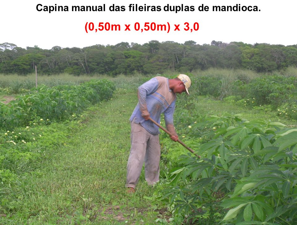Capina manual das fileiras duplas de mandioca.