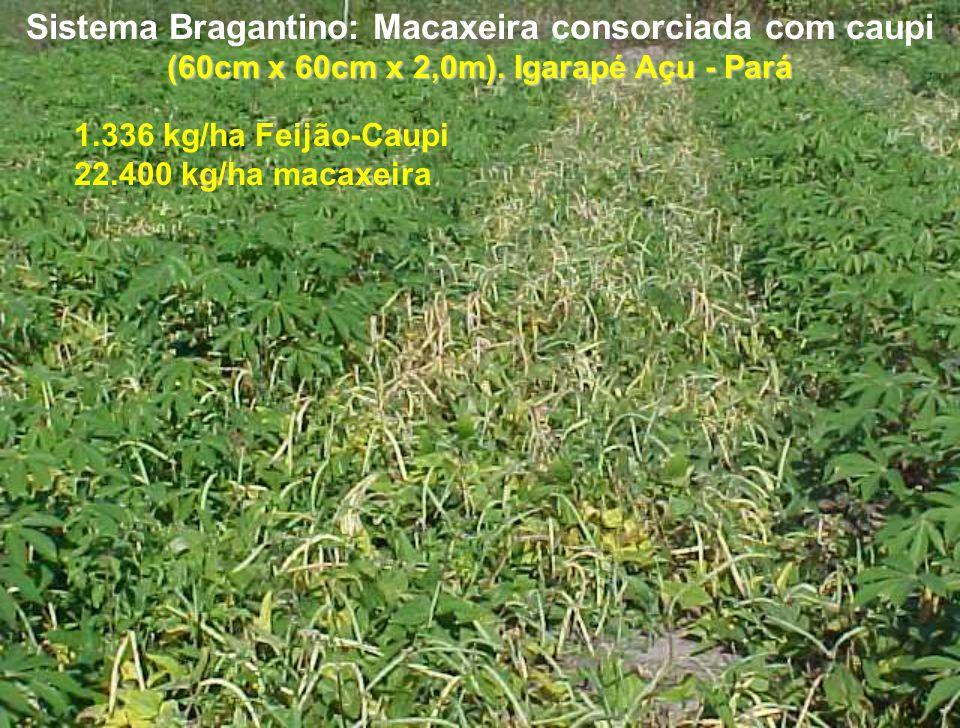 Sistema Bragantino: Macaxeira consorciada com caupi (60cm x 60cm x 2,0m). Igarapé Açu - Pará