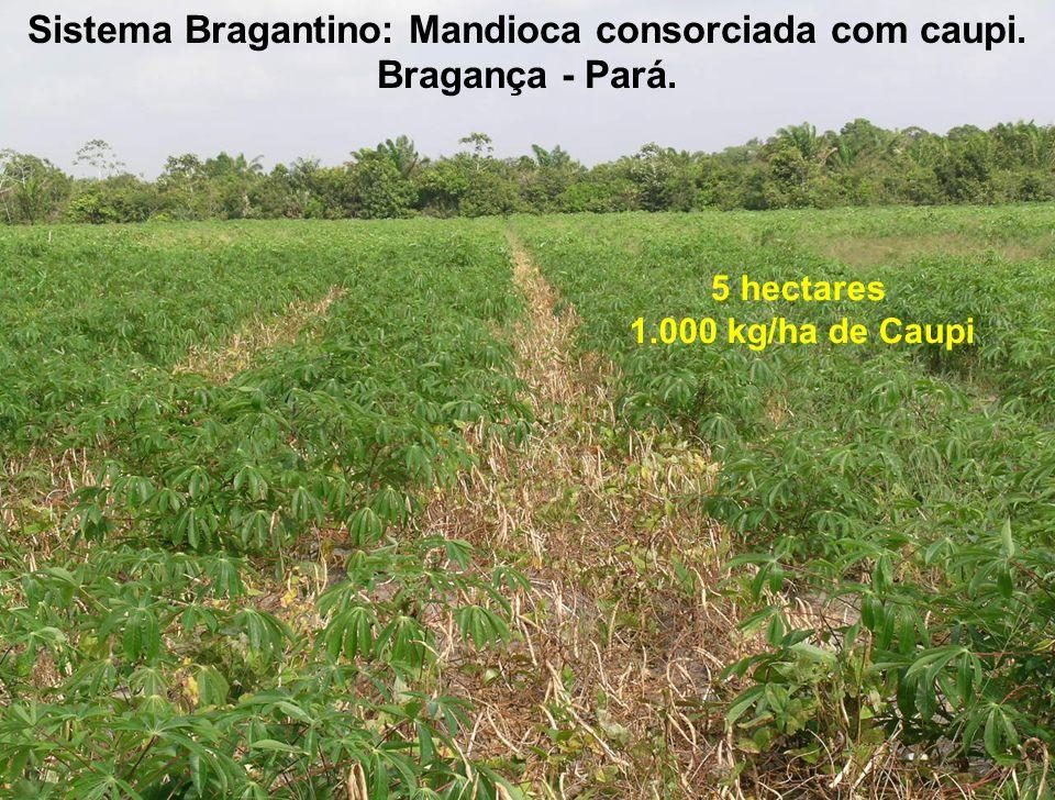Sistema Bragantino: Mandioca consorciada com caupi. Bragança - Pará.