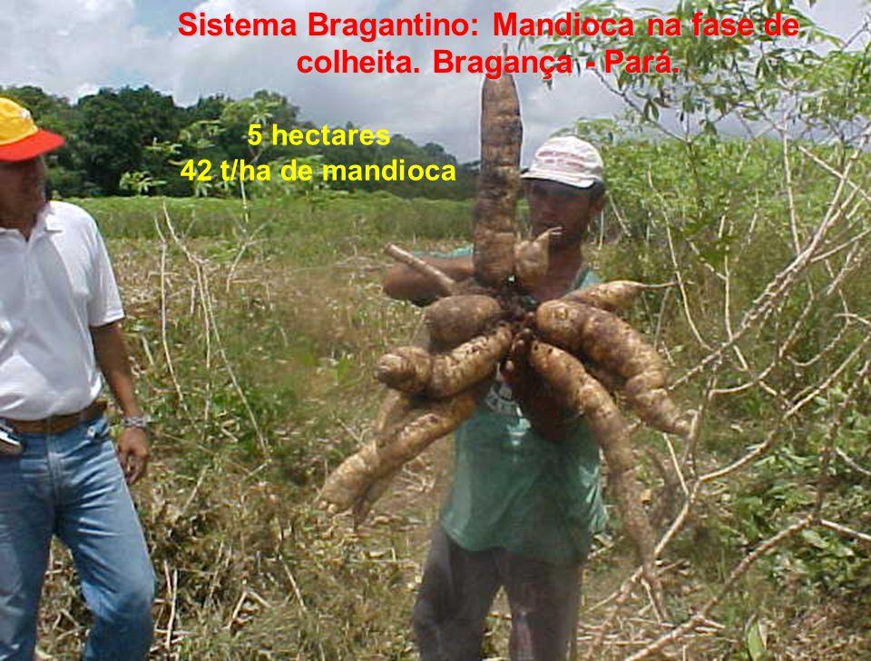 Sistema Bragantino: Mandioca na fase de colheita. Bragança - Pará.