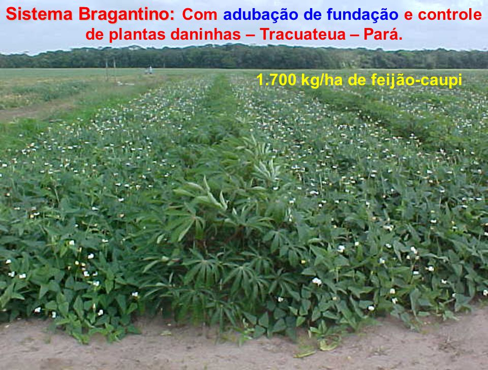 Sistema Bragantino: Com adubação de fundação e controle de plantas daninhas – Tracuateua – Pará.