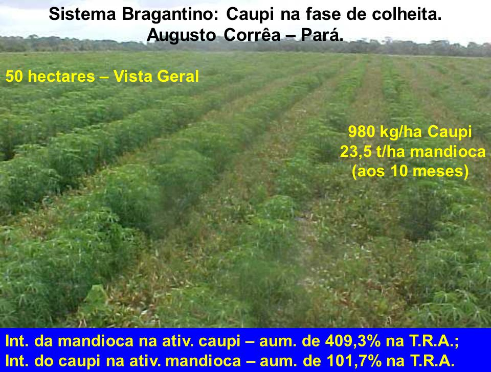 Sistema Bragantino: Caupi na fase de colheita.