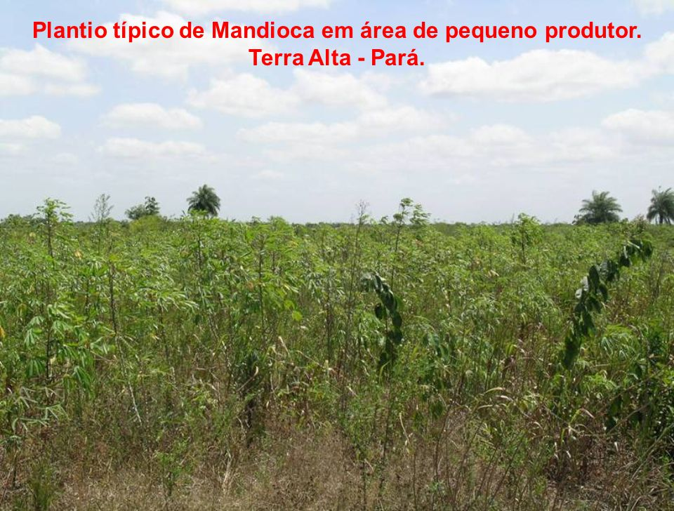 Plantio típico de Mandioca em área de pequeno produtor
