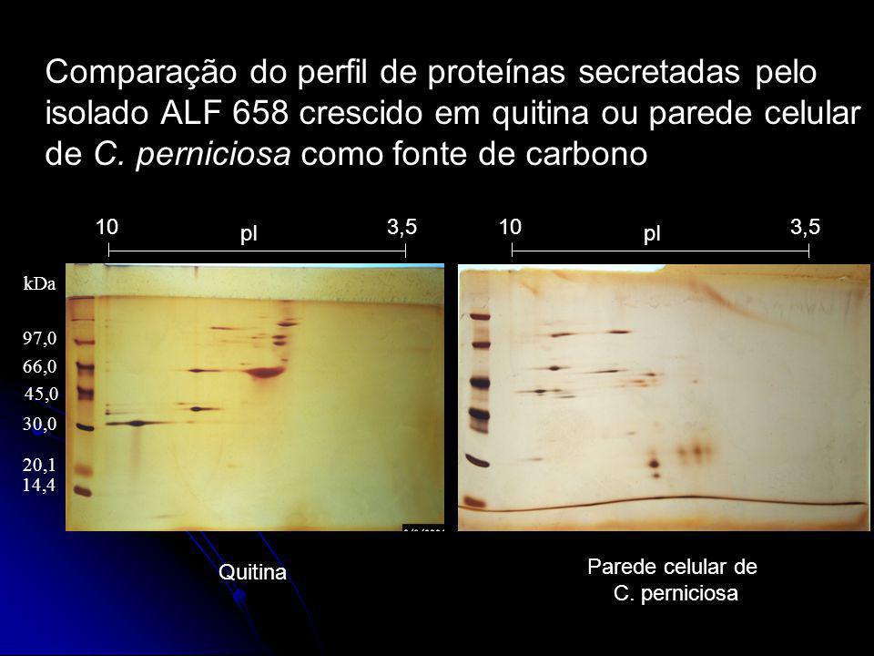 Comparação do perfil de proteínas secretadas pelo isolado ALF 658 crescido em quitina ou parede celular de C. perniciosa como fonte de carbono