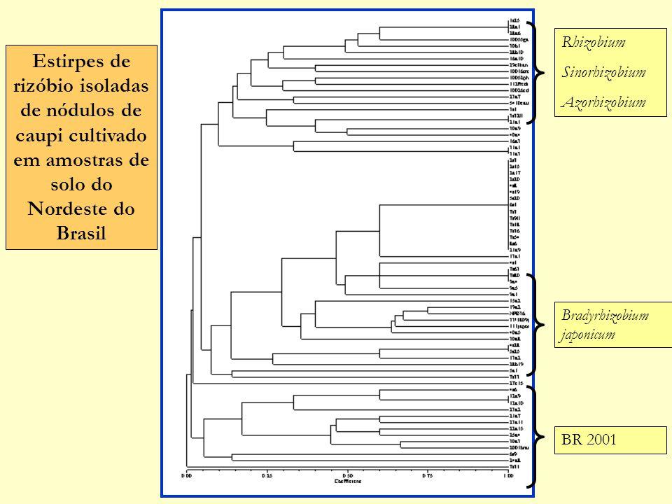 Rhizobium Sinorhizobium. Azorhizobium. Estirpes de rizóbio isoladas de nódulos de caupi cultivado em amostras de solo do Nordeste do Brasil.