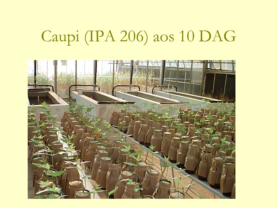 Caupi (IPA 206) aos 10 DAG