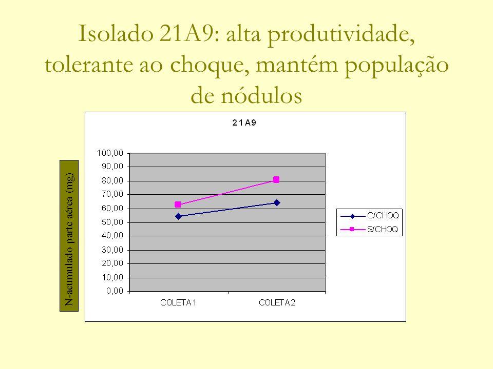 Isolado 21A9: alta produtividade, tolerante ao choque, mantém população de nódulos