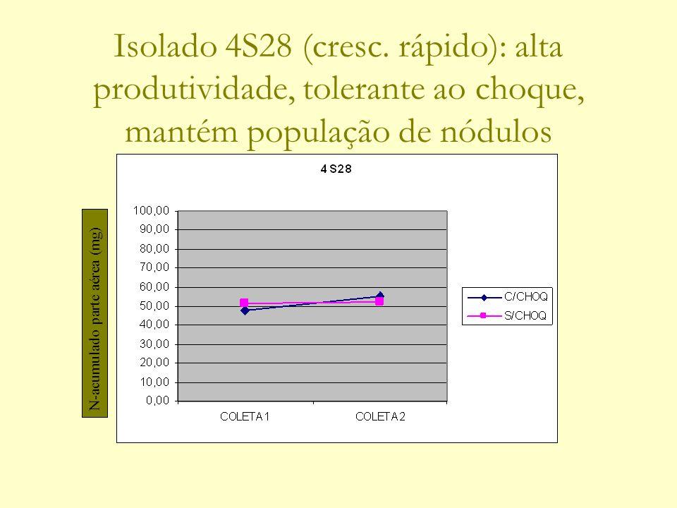 Isolado 4S28 (cresc. rápido): alta produtividade, tolerante ao choque, mantém população de nódulos