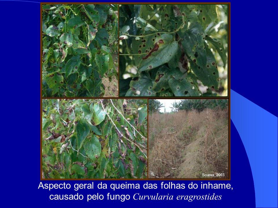 Aspecto geral da queima das folhas do inhame, causado pelo fungo Curvularia eragrostides