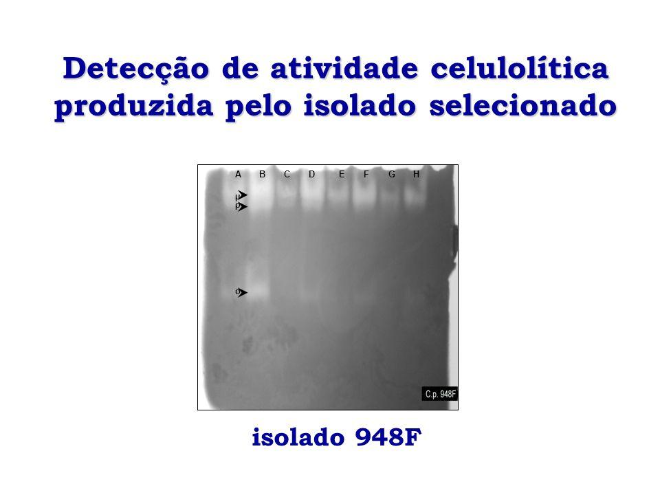 Detecção de atividade celulolítica produzida pelo isolado selecionado