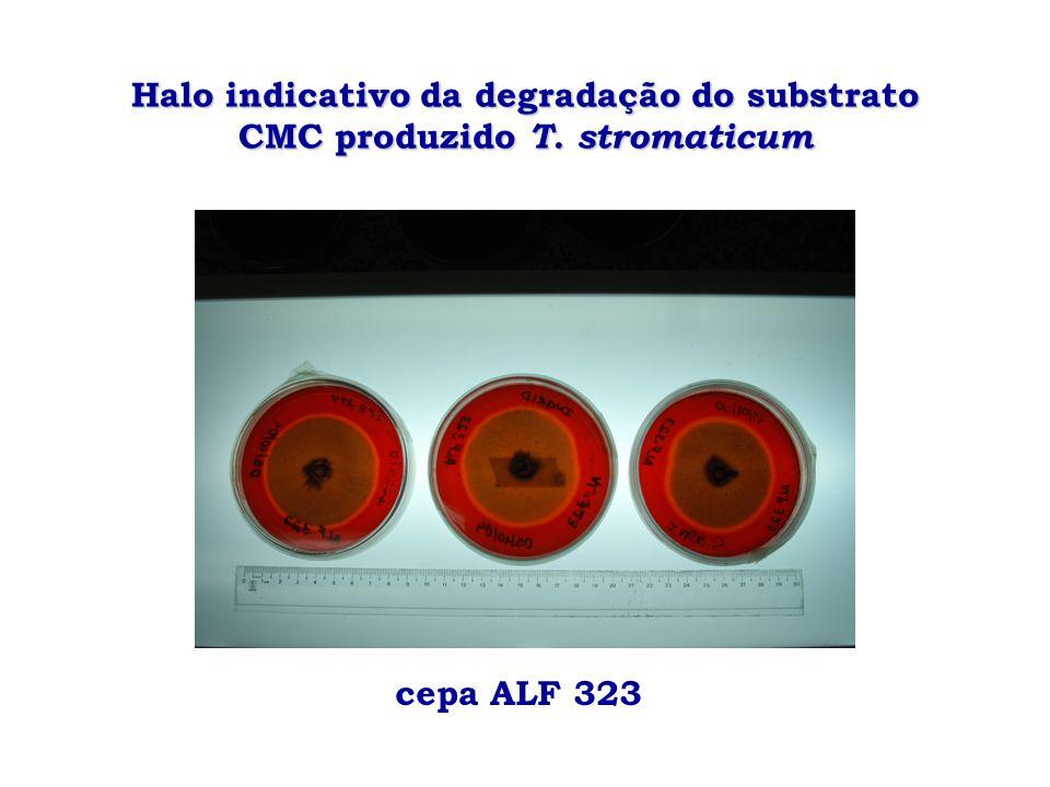 Halo indicativo da degradação do substrato CMC produzido T. stromaticum