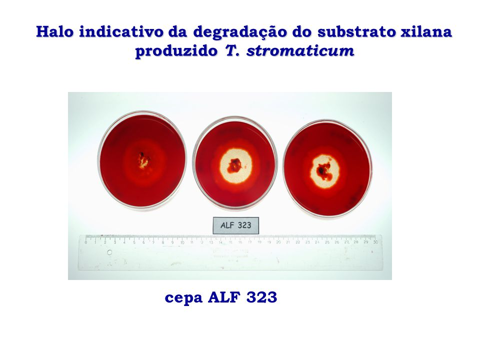 Halo indicativo da degradação do substrato xilana produzido T