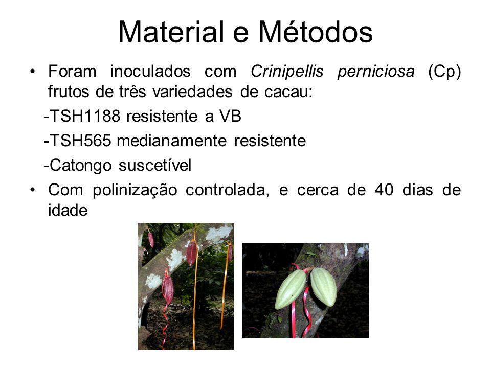 Material e Métodos Foram inoculados com Crinipellis perniciosa (Cp) frutos de três variedades de cacau: