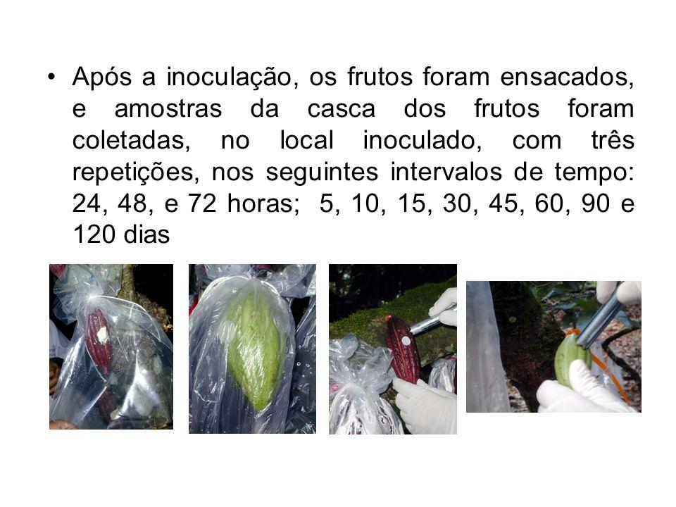 Após a inoculação, os frutos foram ensacados, e amostras da casca dos frutos foram coletadas, no local inoculado, com três repetições, nos seguintes intervalos de tempo: 24, 48, e 72 horas; 5, 10, 15, 30, 45, 60, 90 e 120 dias