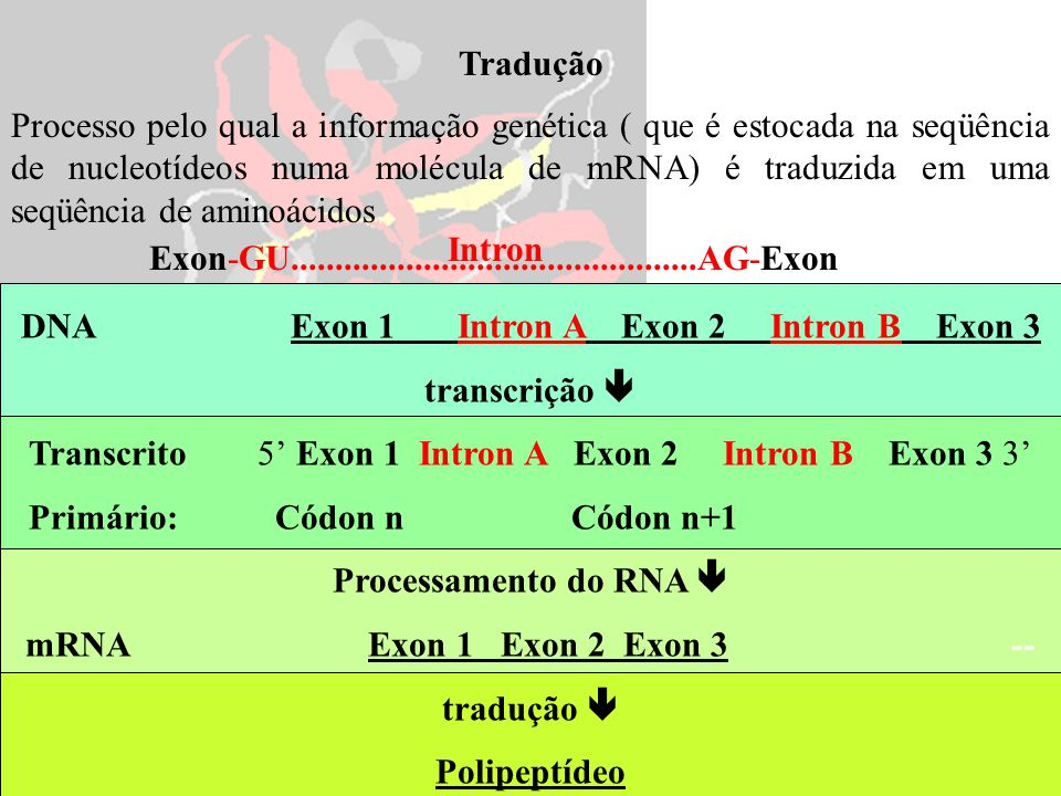 DNA Exon 1 Intron A Exon 2 Intron B Exon 3 transcrição 