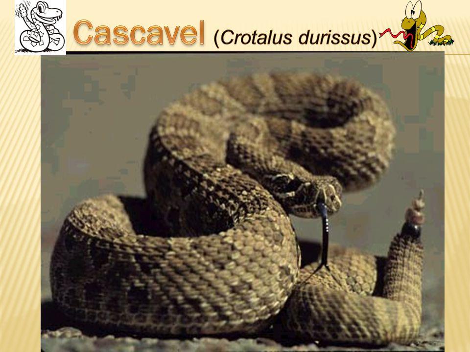 Cascavel (Crotalus durissus)