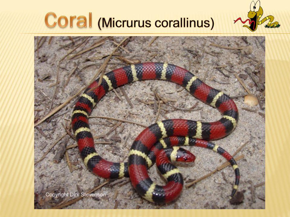 Coral (Micrurus corallinus)
