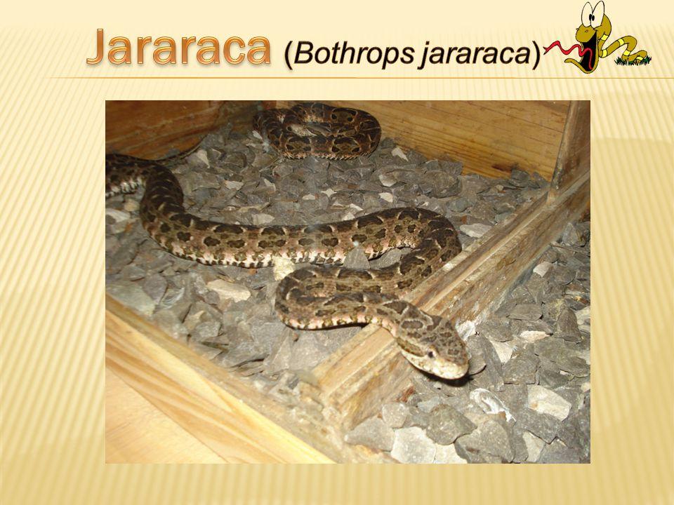 Jararaca (Bothrops jararaca)