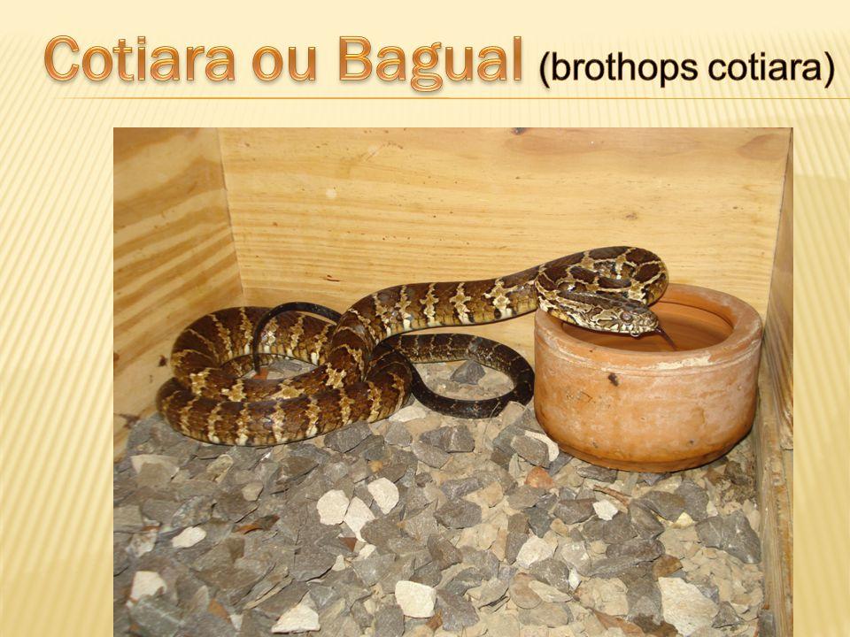 Cotiara ou Bagual (brothops cotiara)