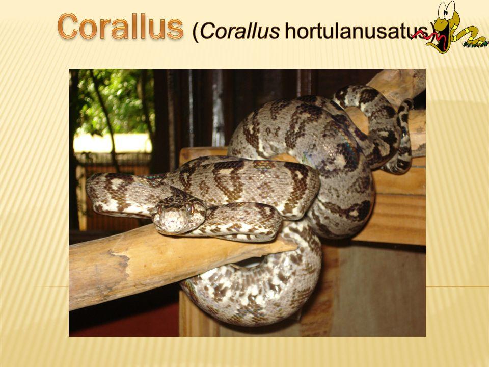 Corallus (Corallus hortulanusatus)