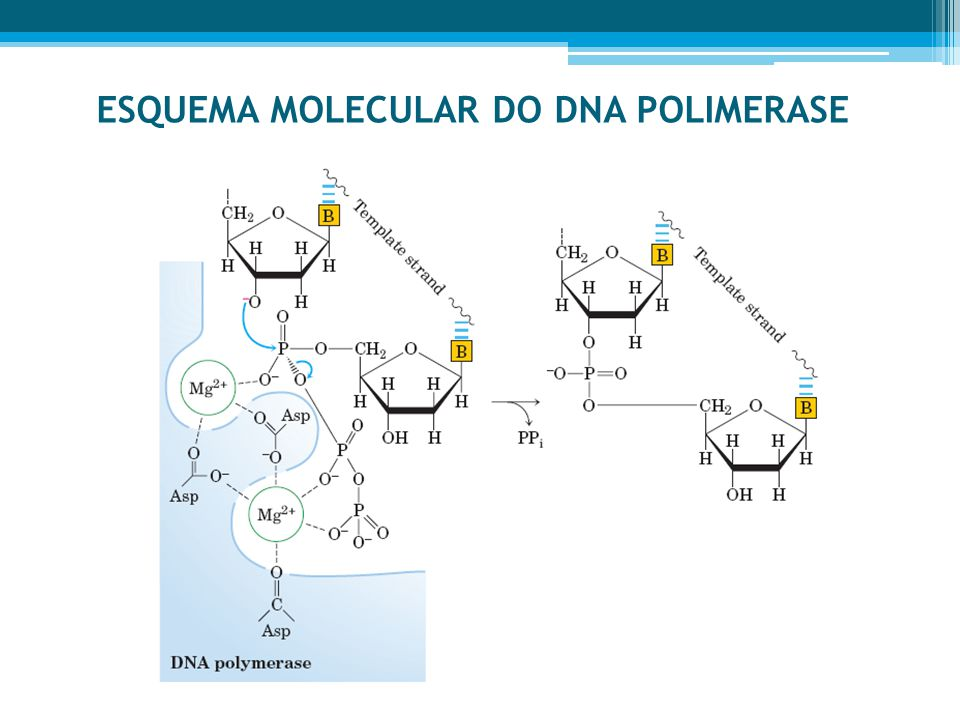 ESQUEMA MOLECULAR DO DNA POLIMERASE