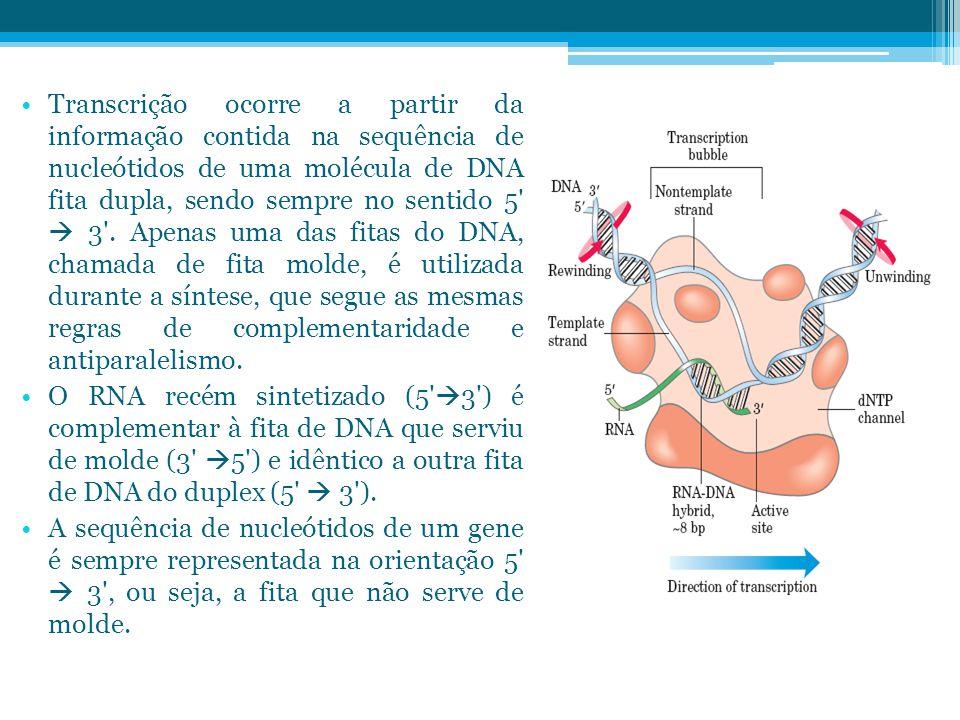 Transcrição ocorre a partir da informação contida na sequência de nucleótidos de uma molécula de DNA fita dupla, sendo sempre no sentido 5  3 . Apenas uma das fitas do DNA, chamada de fita molde, é utilizada durante a síntese, que segue as mesmas regras de complementaridade e antiparalelismo.