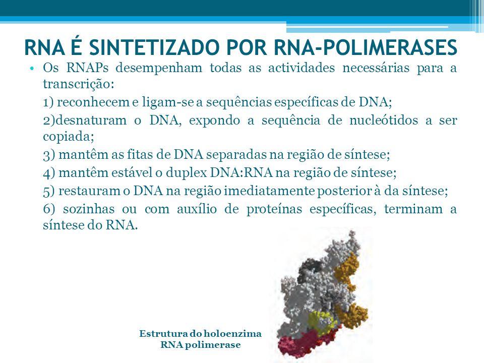 RNA É SINTETIZADO POR RNA-POLIMERASES