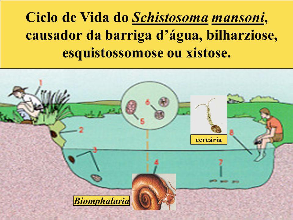 causador da barriga d'água, bilharziose, esquistossomose ou xistose.