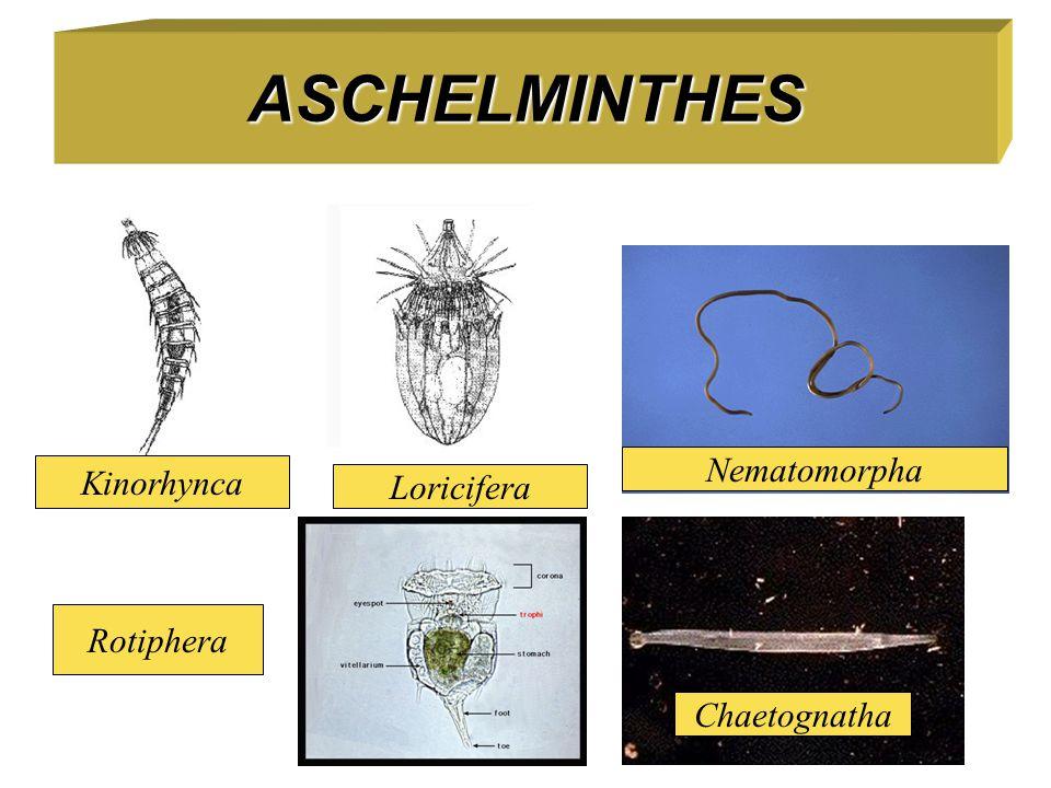 ASCHELMINTHES Nematomorpha Kinorhynca Loricifera Rotiphera