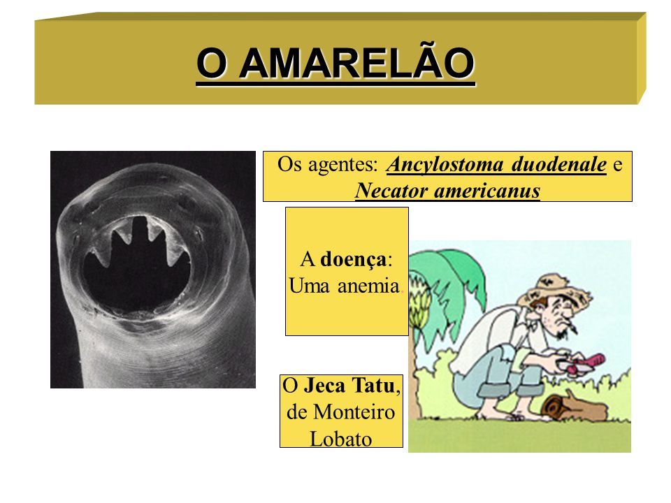 Os agentes: Ancylostoma duodenale e